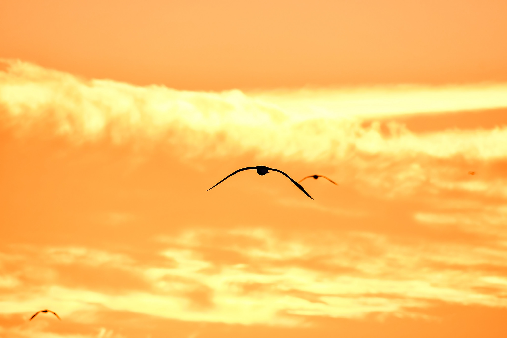 Fåglar flygandes i solnedgång.