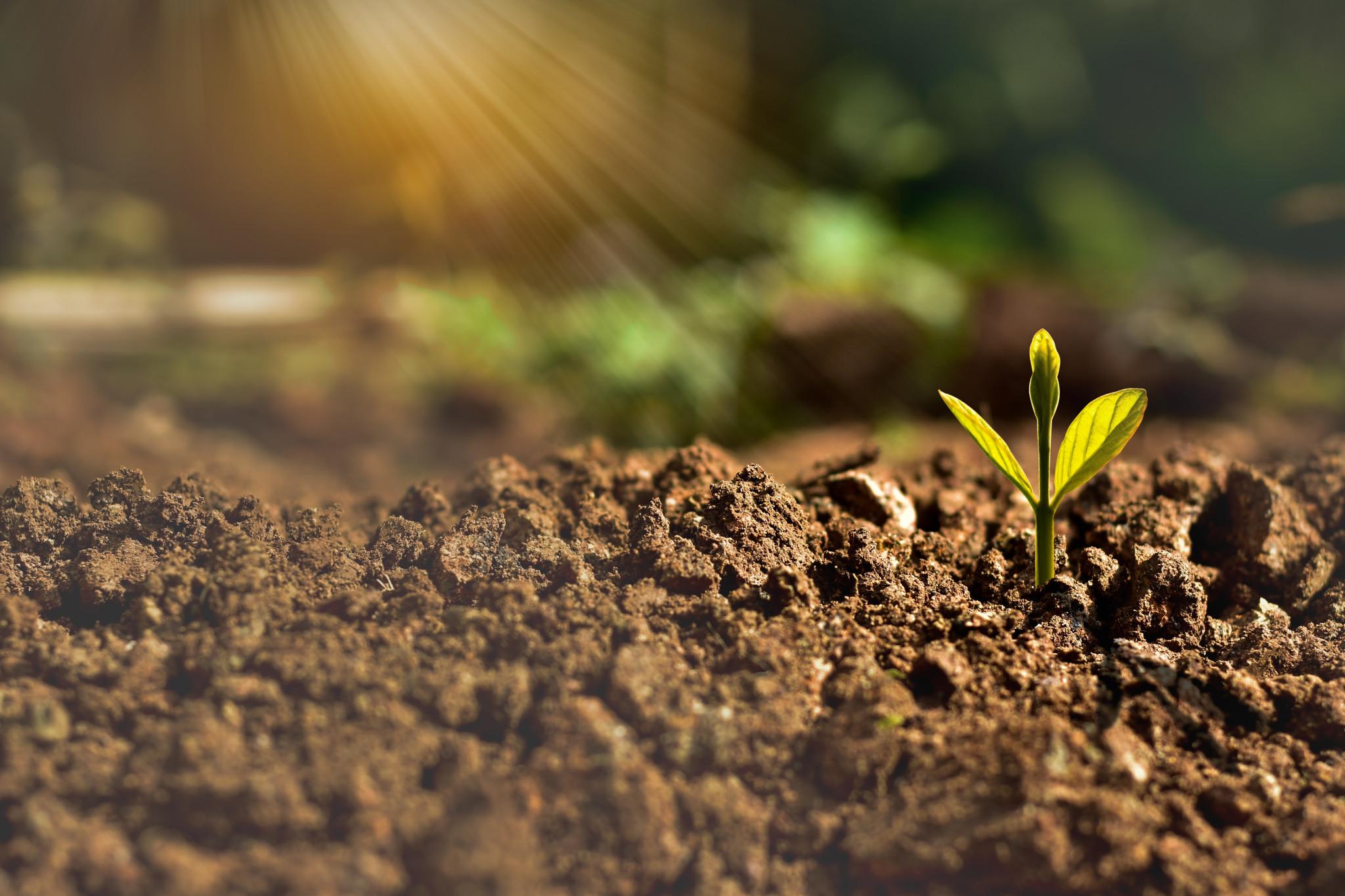 Sädesslag växer ur marken.