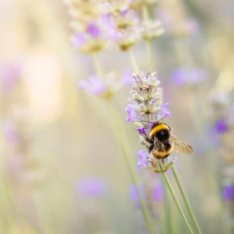 Humla pollinerar.