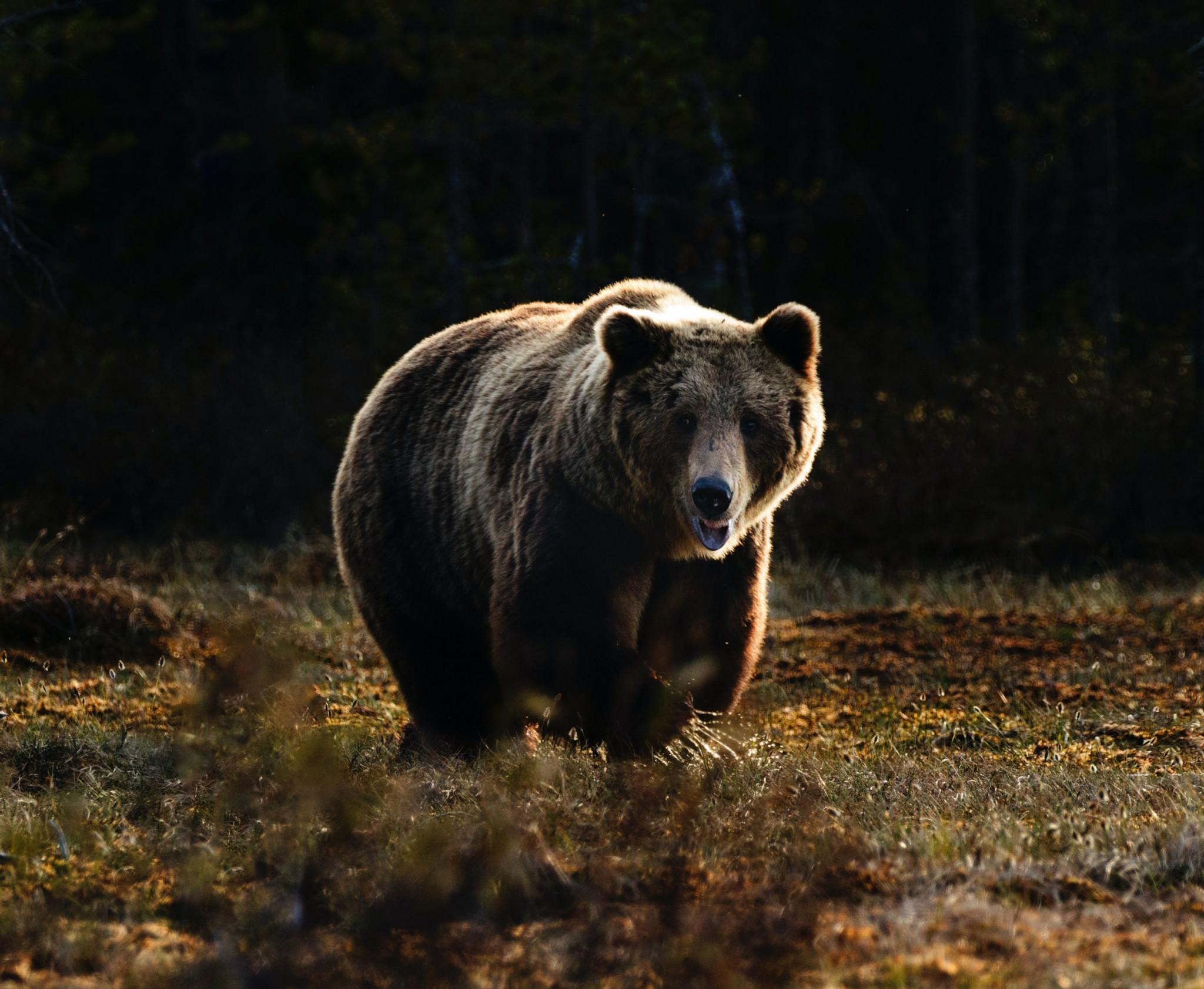 Vild brunbjörn springer längs fält.